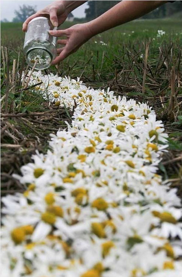 DIY Daisy Path